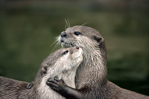 Two otters hugging by Woodland Trust | Confetti.co.uk
