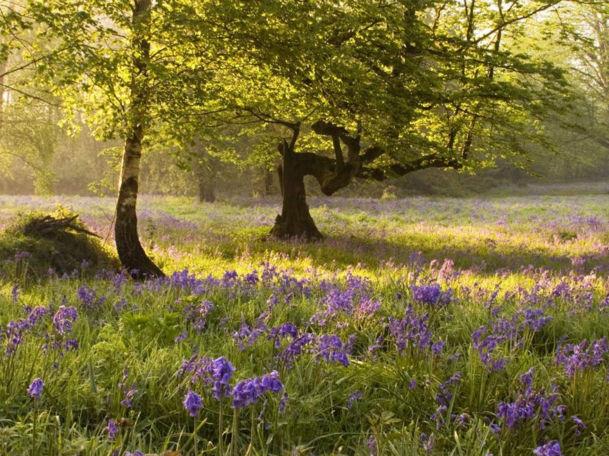 Woodland Trust Ancient Woodland and Bluebells | Confetti.co.uk